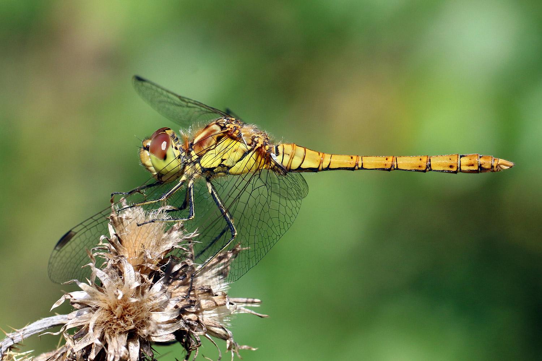 Insecta - Insects - Arthropoda - Animalia