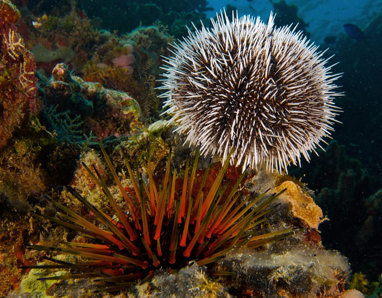 echinodermata echinoderms starfish sea urchins and sea cucumbers