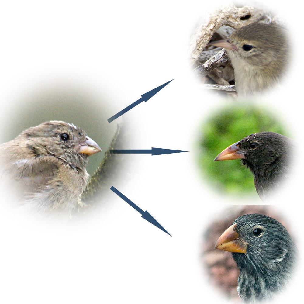 finchevolution Professor stanton galapagoes (darwin's) finches and evolution study guide by cara_ahn includes 20 questions covering vocabulary, terms and more quizlet flashcards, activities and games help you improve your grades.