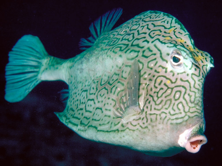 Image of: Acanthurus Sp File Fish Tetraodontiformes Found Usually In Shallow Water Of 30m Or Less And Frequently In Or Around Coral Reefs Not Great Distance Swimmers But Bioweb Home Fish Pisces Animalia