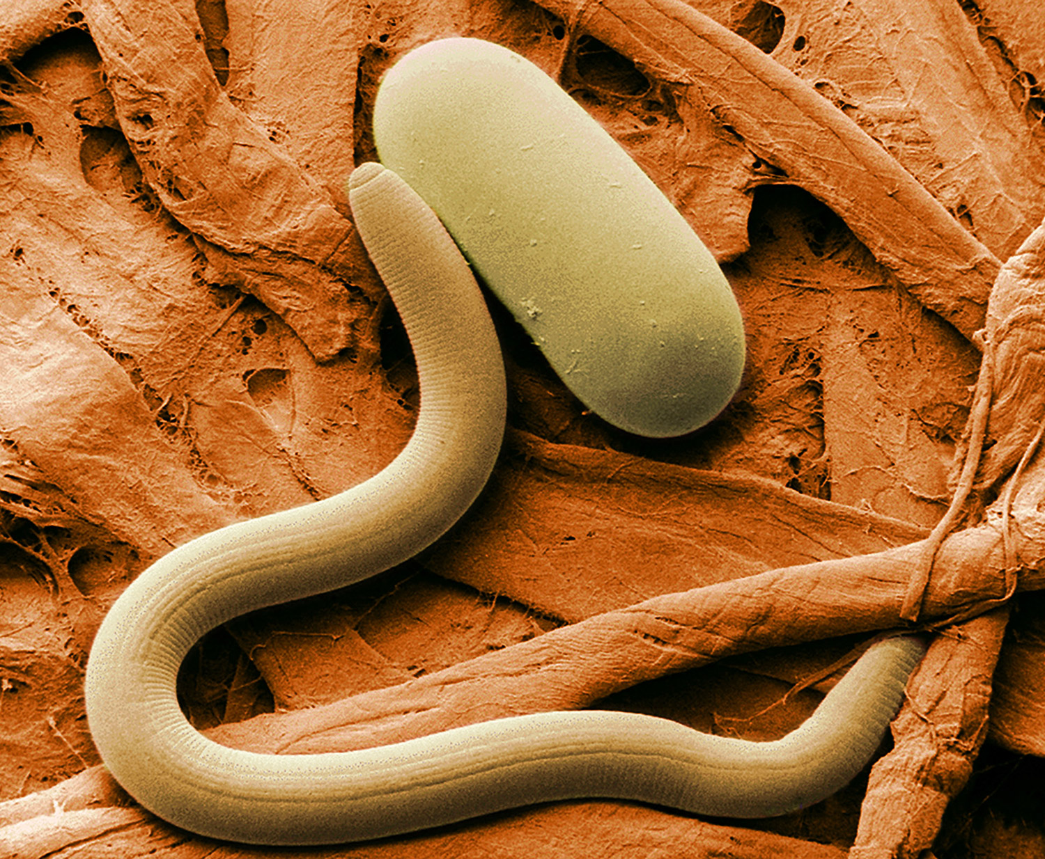 Nematoda asexual reproduction in fungi