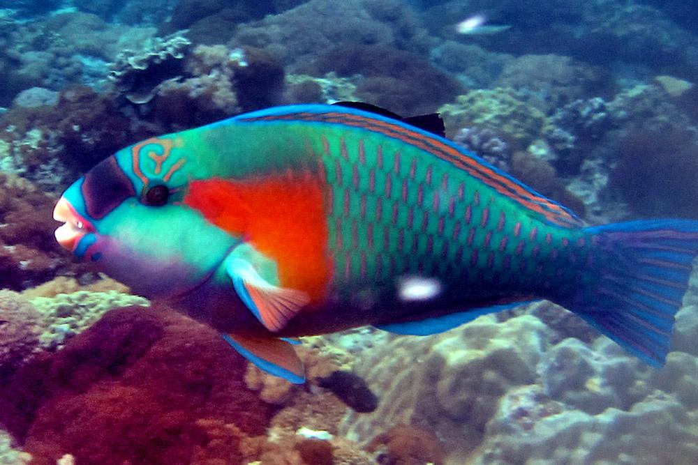 Image of: Acanthurus Sp alt Cool Galapagos Fish Pisces Animalia
