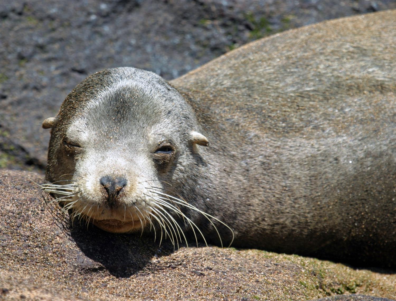 Galapagos Sea Lions - Zalophus wollebaeki - Galapagos ...