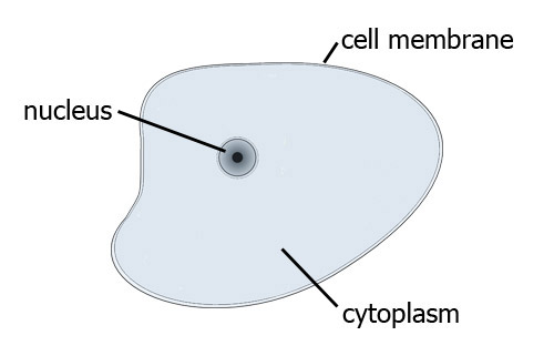 how to make a simple animal cell model