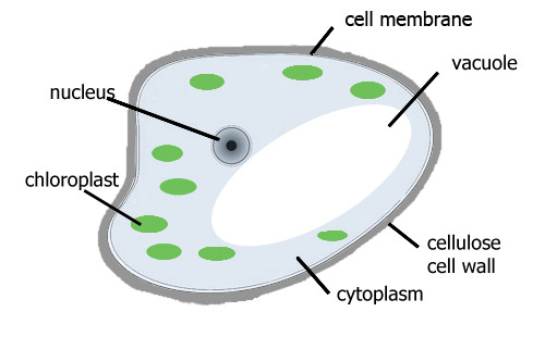 Simple Plant Cell And Animal Cell