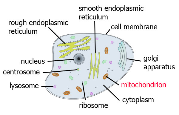 cell_diagram_mito respiration biology topics