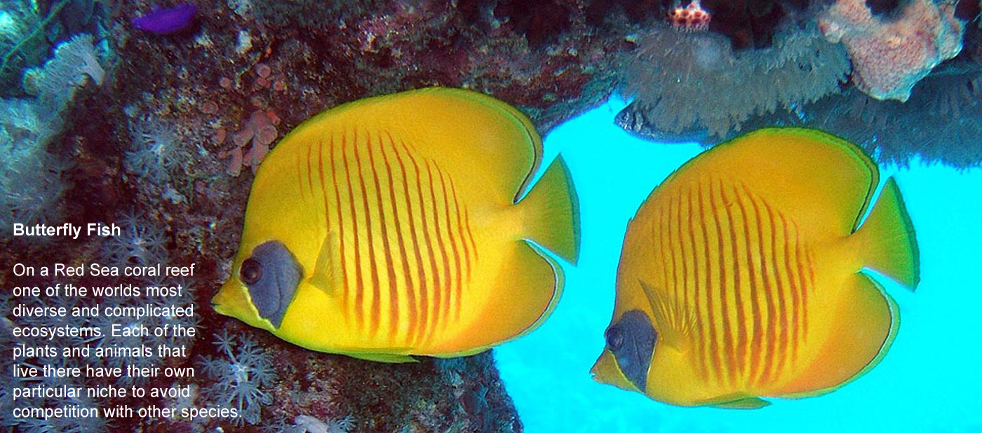 Butterfly Fish - On a Red Sea coral reef one of  			the worlds most diverse and complicated ecosystems. Each of the plants  			and animals that live there have their own particular niche to avoid  			competition with other species