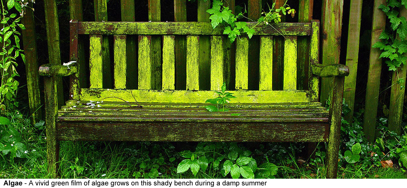 Algae - A vivid green film of algae grows on this shady bench during a    damp summer in an English garden