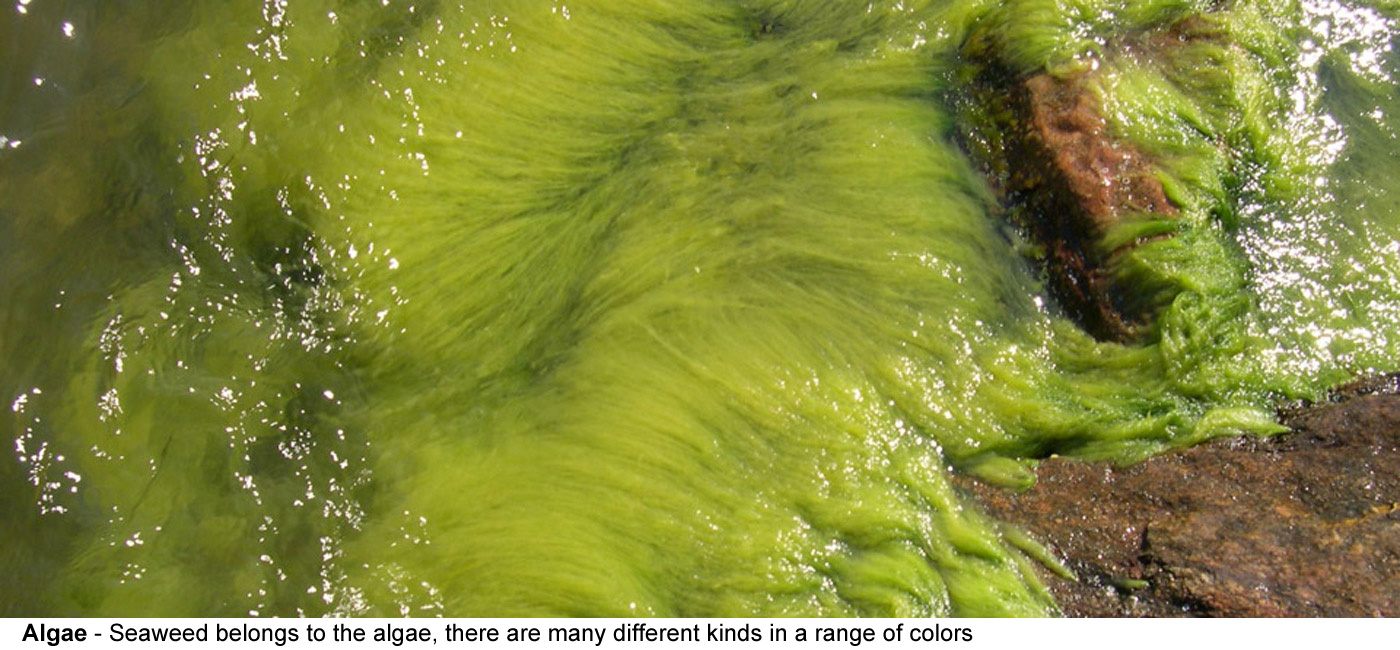 Algae - Seaweed belongs to the algae, there    are many different kinds in a range of colors