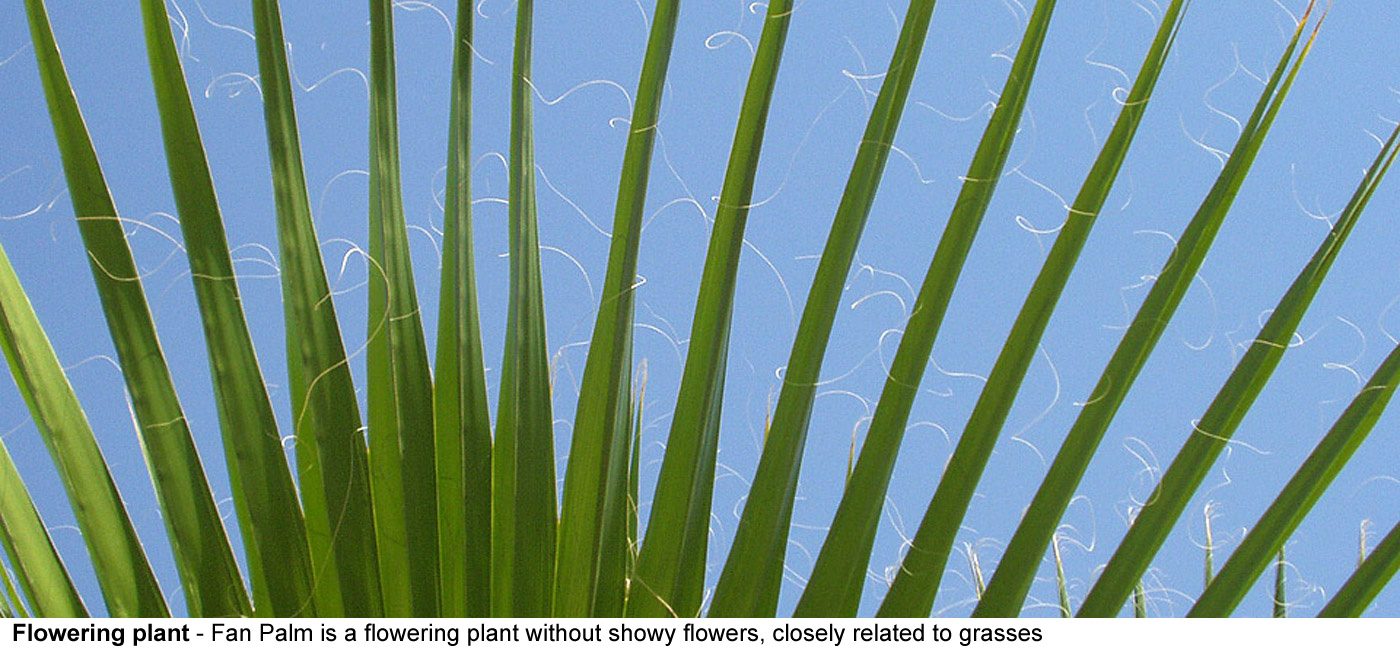 flowering plant - A Fan Palm is a flowering plant without showy flowers,    the palm family is closely related to grasses