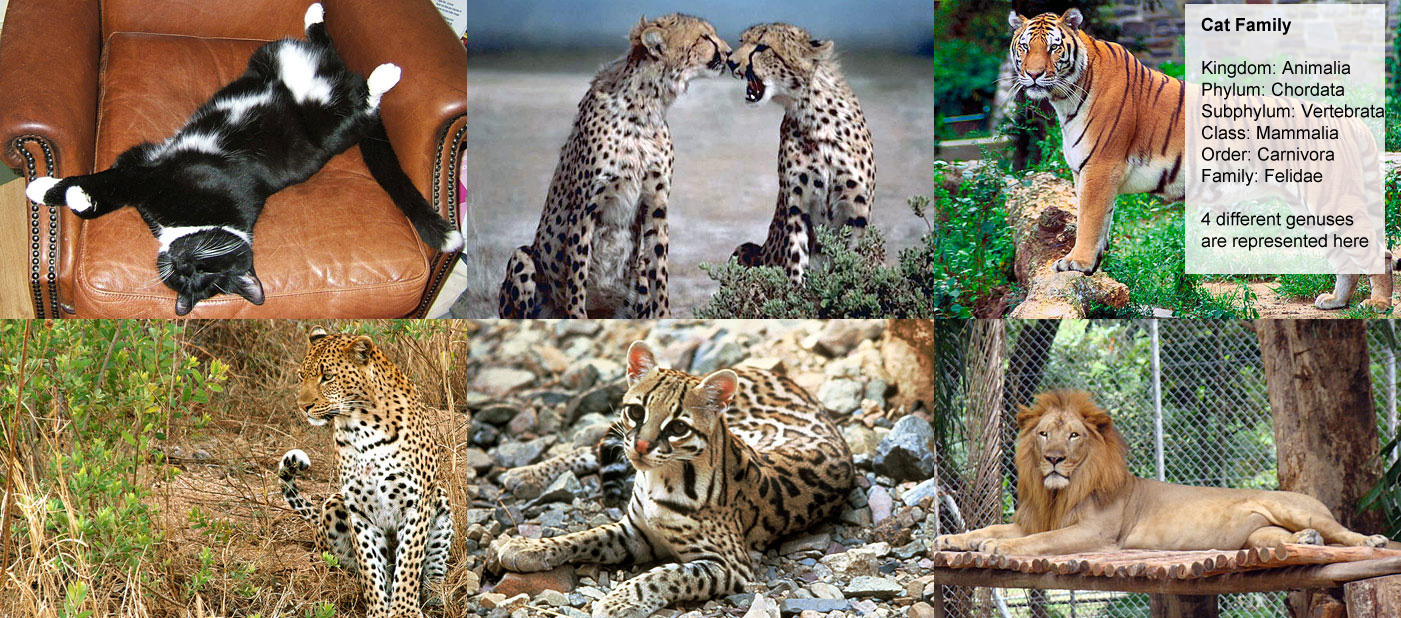 Cat Family - Kingdom: Animalia - Phylum: Chordata, Subphylum:  								Vertebrata, Class: Mammalia, Order: Carnivora, Family: Felidae, 4 different genuses, are represented  								here