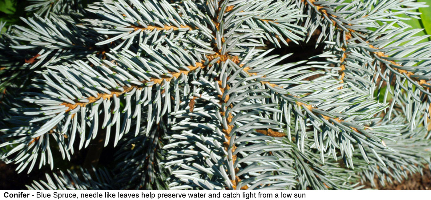 Conifer - This branch belongs to a Colorado Blue Spruce, a conifer, needle like leaves help the trees    preserve water in the winter and help help catch light from a    sun low in the sky