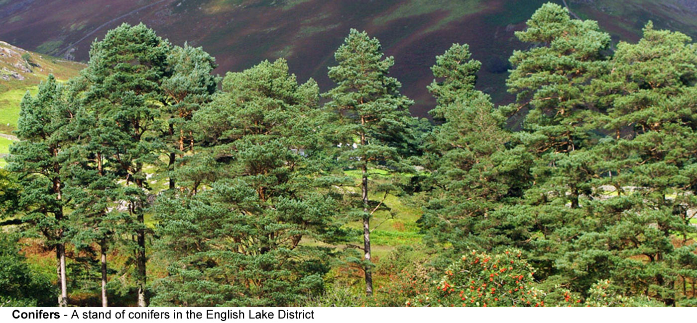 Conifers - A stand of conifers in the English Lake District