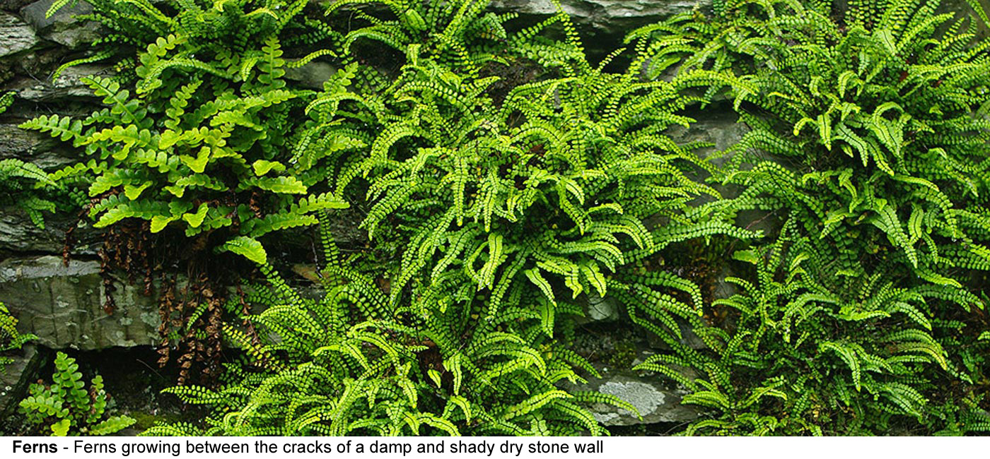 Ferns - Ferns growing between the cracks of a damp and shady dry stone    wall