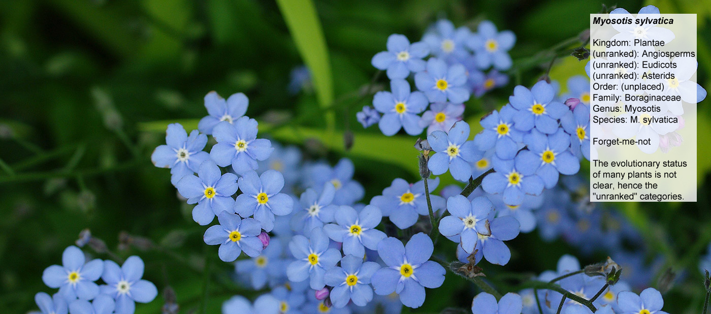 Forget-me-not - Kingdom: Plantae, (unranked): Angiosperms,  								(unranked): Eudicots, (unranked): Asterids,  								Order: (unplaced), Family: Boraginaceae, Genus:  								Myosotis, Species: M. sylvatica. The evolutionary  								status<br>of many plants is not<br>clear, hence  								the unranked, categories