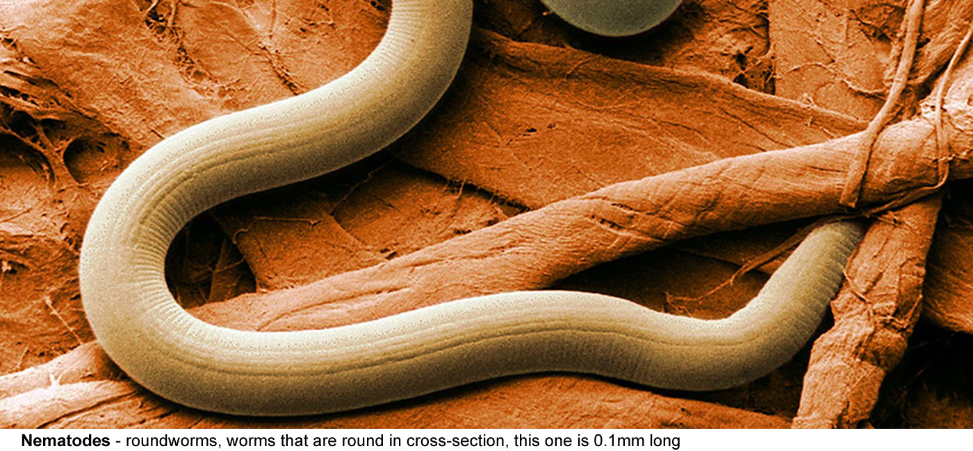 Nematodes - Roundworms, worms that are round in cross-section.  								Short and fat, long and thin, and everywhere  								in between, large and visible or microscopic,  								free living or parasites that sometimes fall  								down people's noses, this one around 0.1mm long.