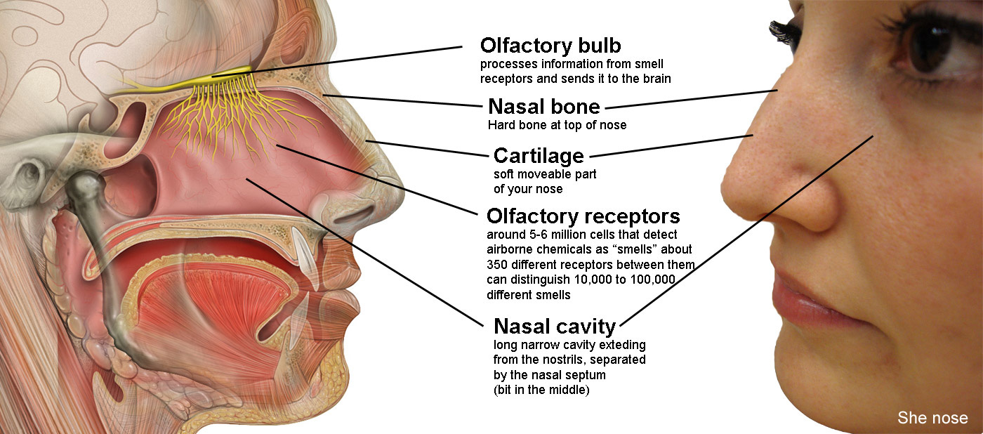 Biological topics human senses smell the nose ccuart Image collections