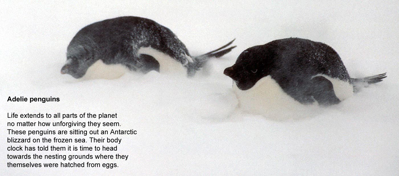 Adelie penguins - Life extends to all parts  				of the planet no matter how unforgiving they seem. These penguins  				are sitting out an Antarctic blizzard on the frozen sea. Their body  				clocks have told them it is time to head towards the nesting grounds  				where they themselves were hatched from eggs